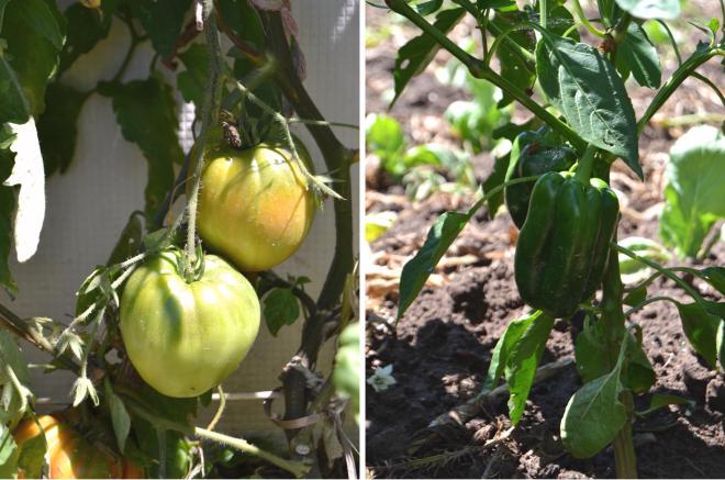 tomate / pimento